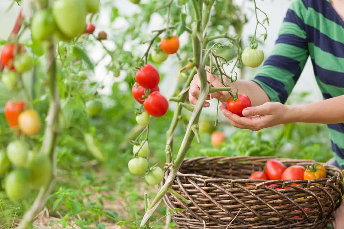 Fiori Da Piantare Nell Orto mese di giugno: semina, raccolto e lavori nell'orto - greenme.it