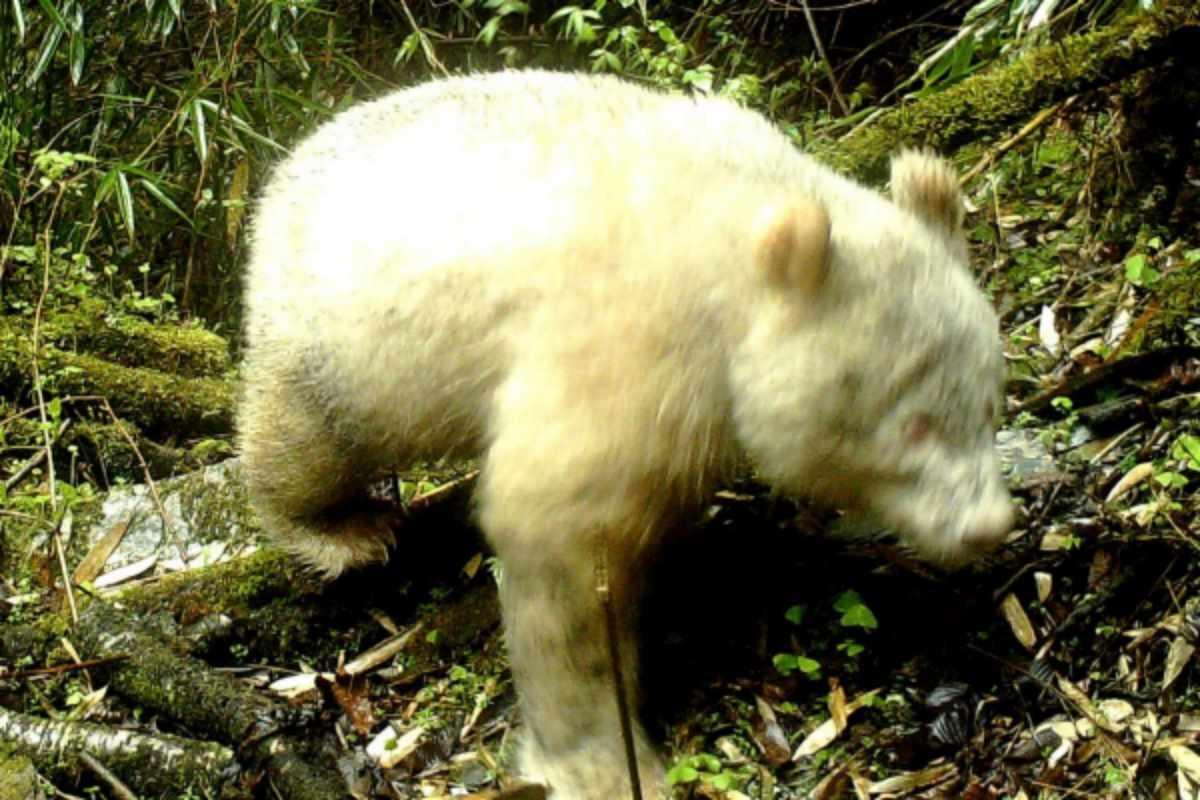 panda albino cina