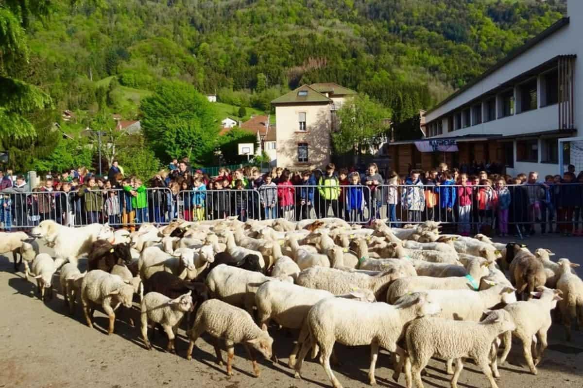 pecore a scuola