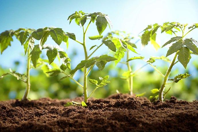 piantare piantine pomodori