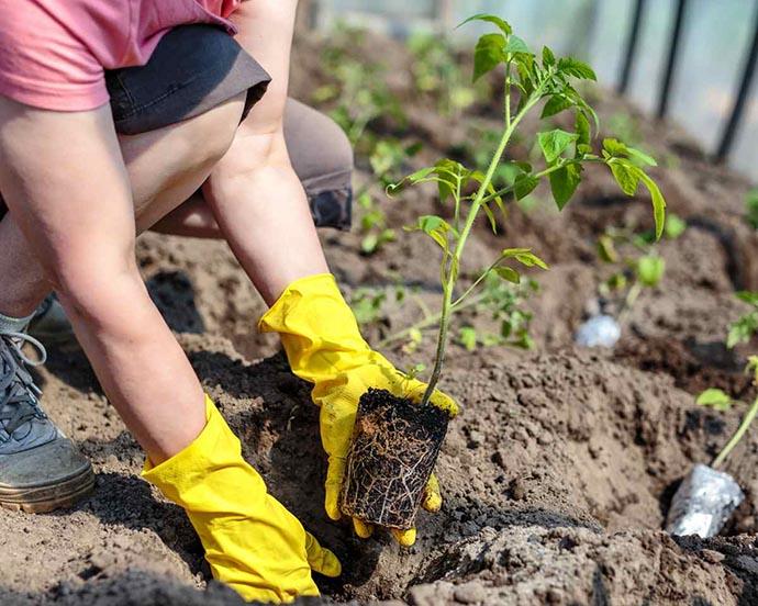 piantare pomodori