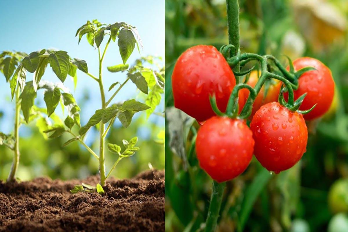 piantare-pomodori-