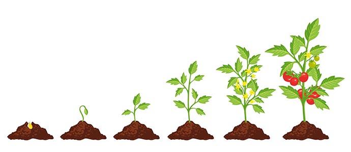 piantare pomodori infografica