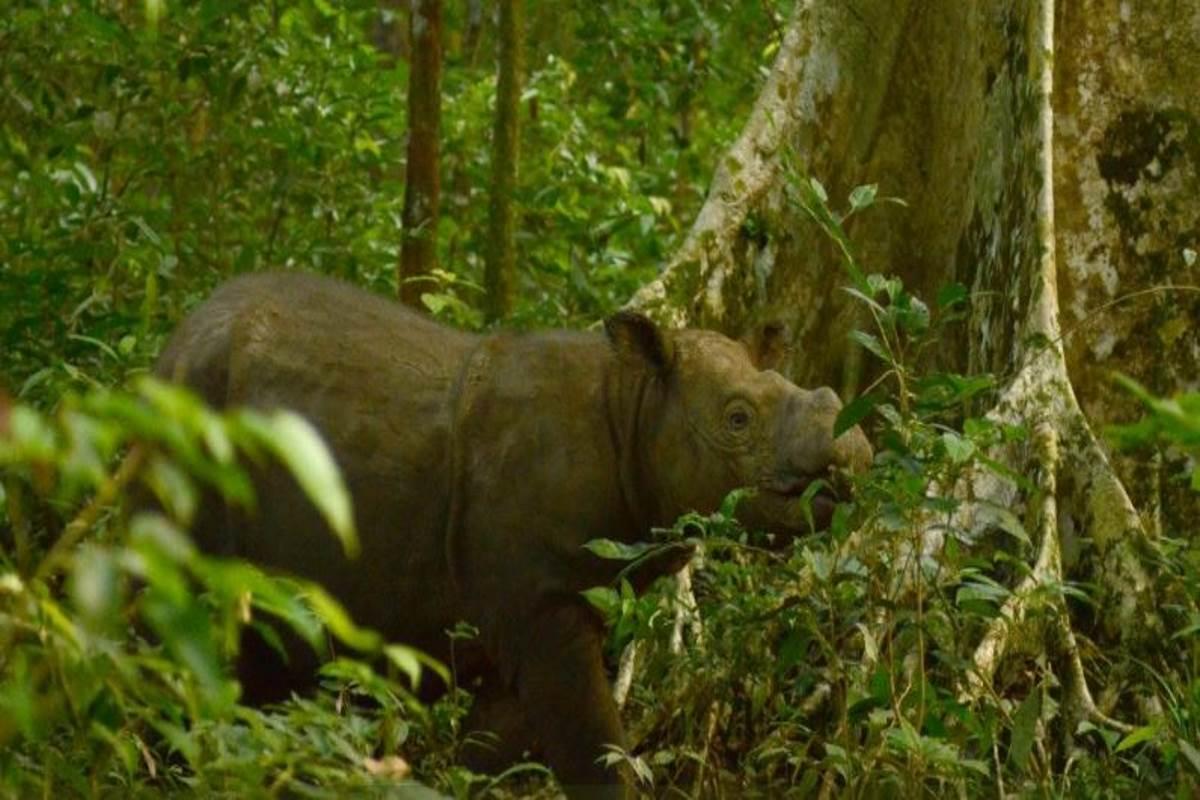tam-rinoceronte