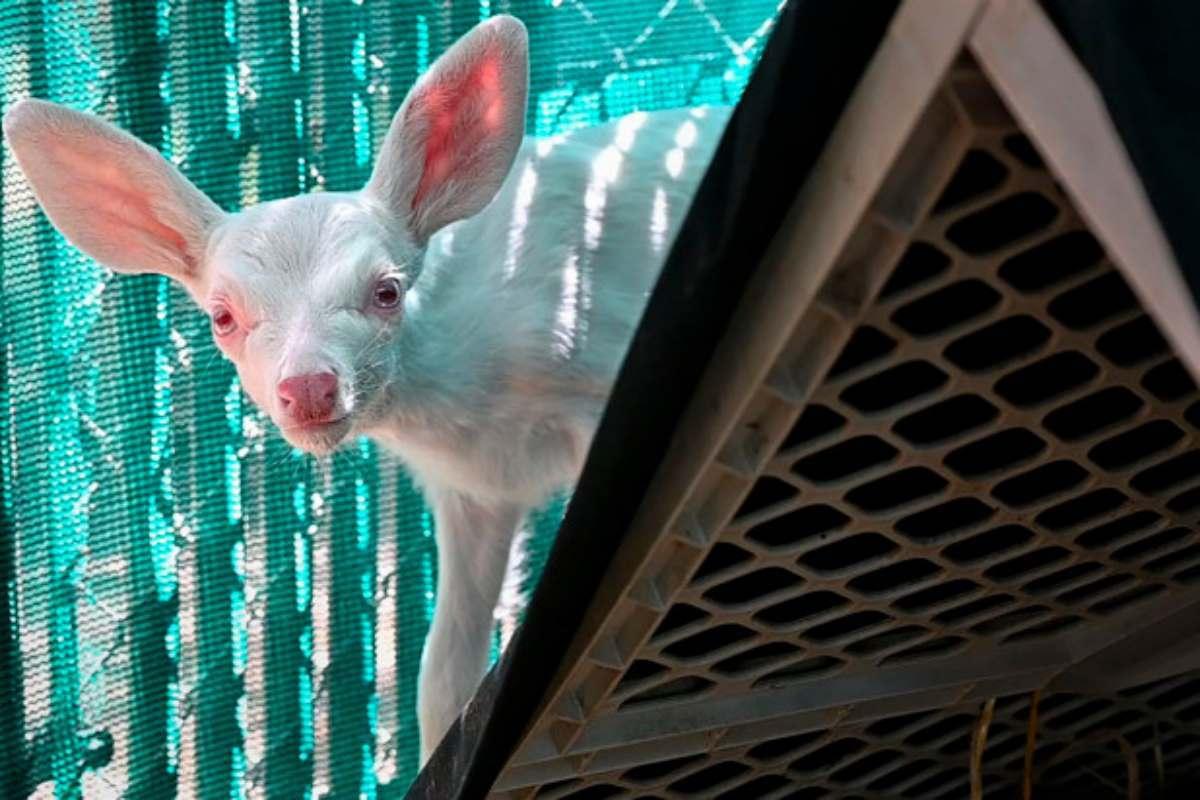 cerbiatto albino USA