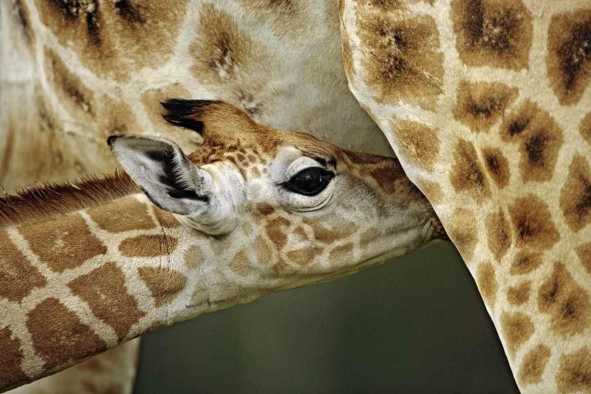 Giornata giraffe