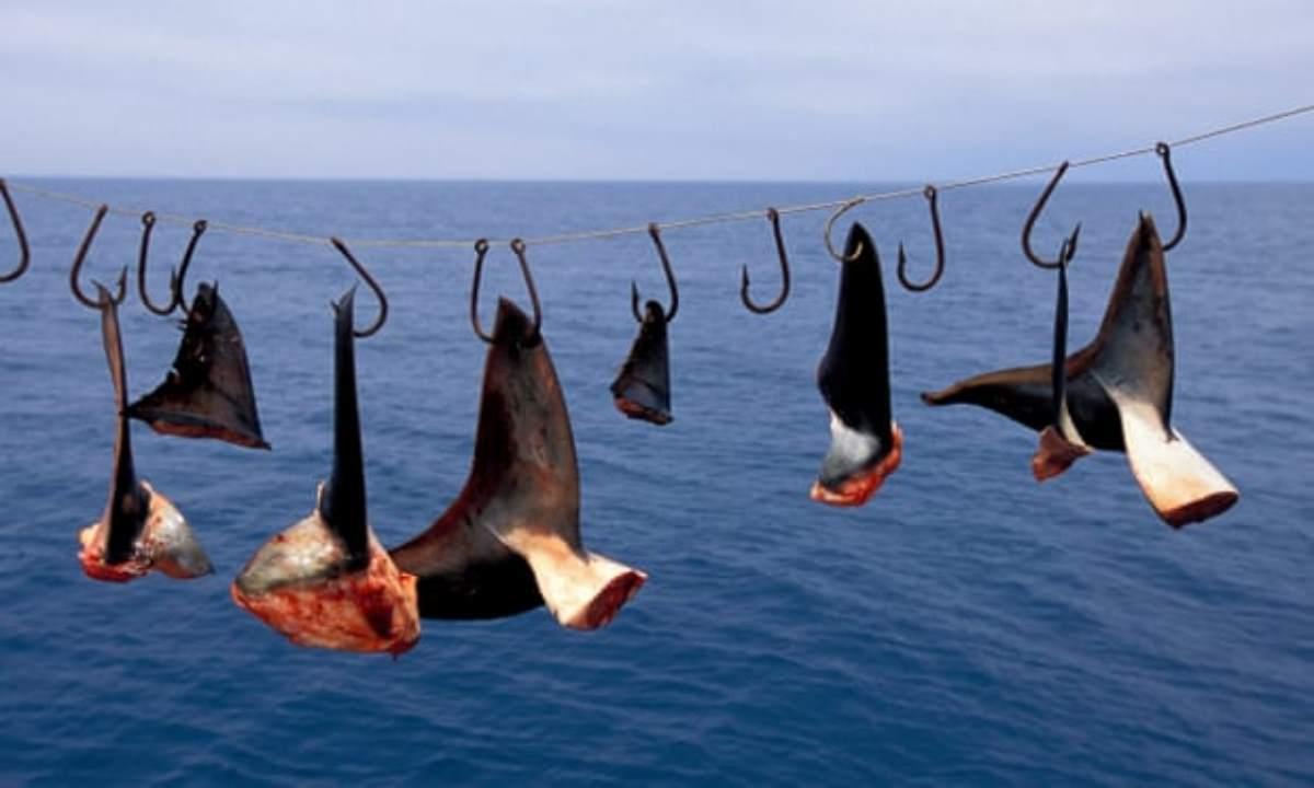 pinne squalo