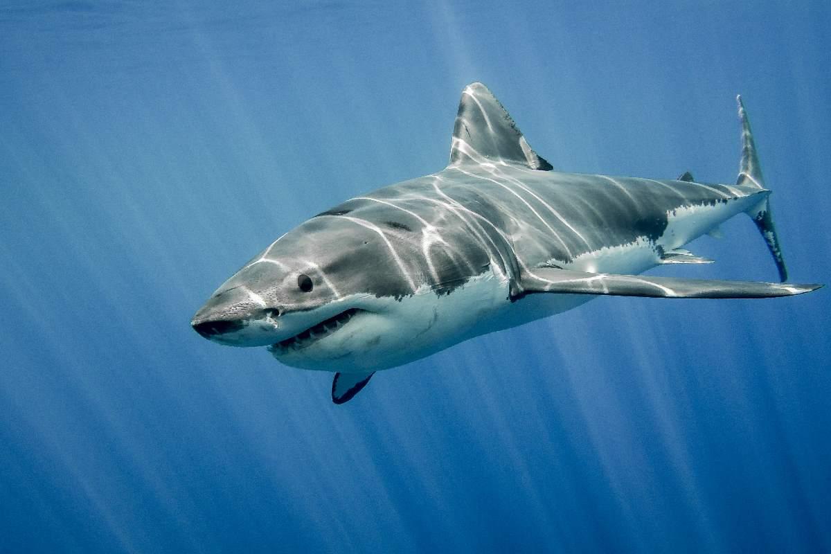 squalo pinne