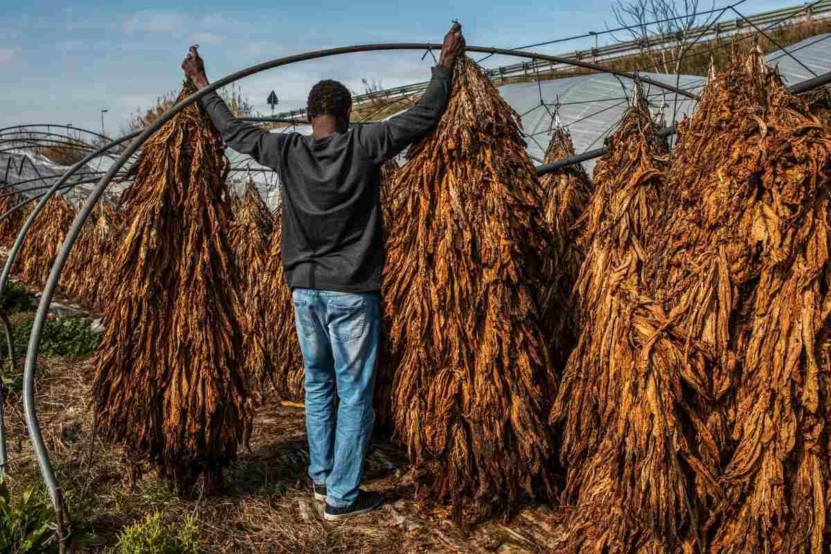 tabacco capolarato sfruttamento lavoro migranti