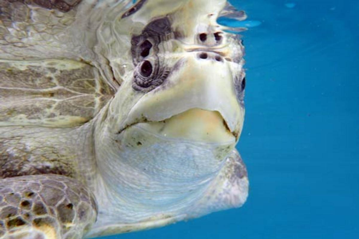 tartarughe Maldive