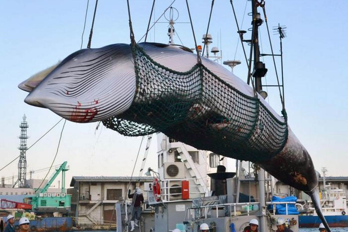 caccia balene giappone