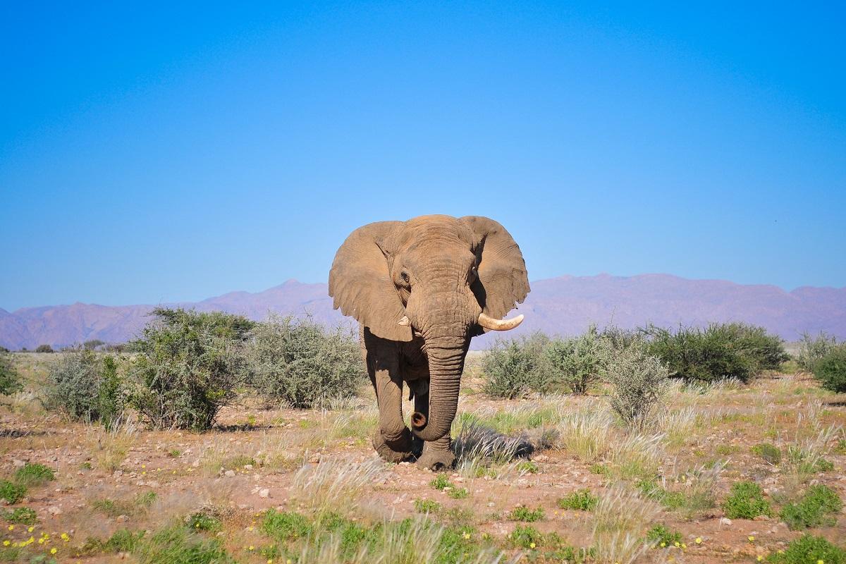 Voortrekker, l'elefante leggendario è stato ucciso