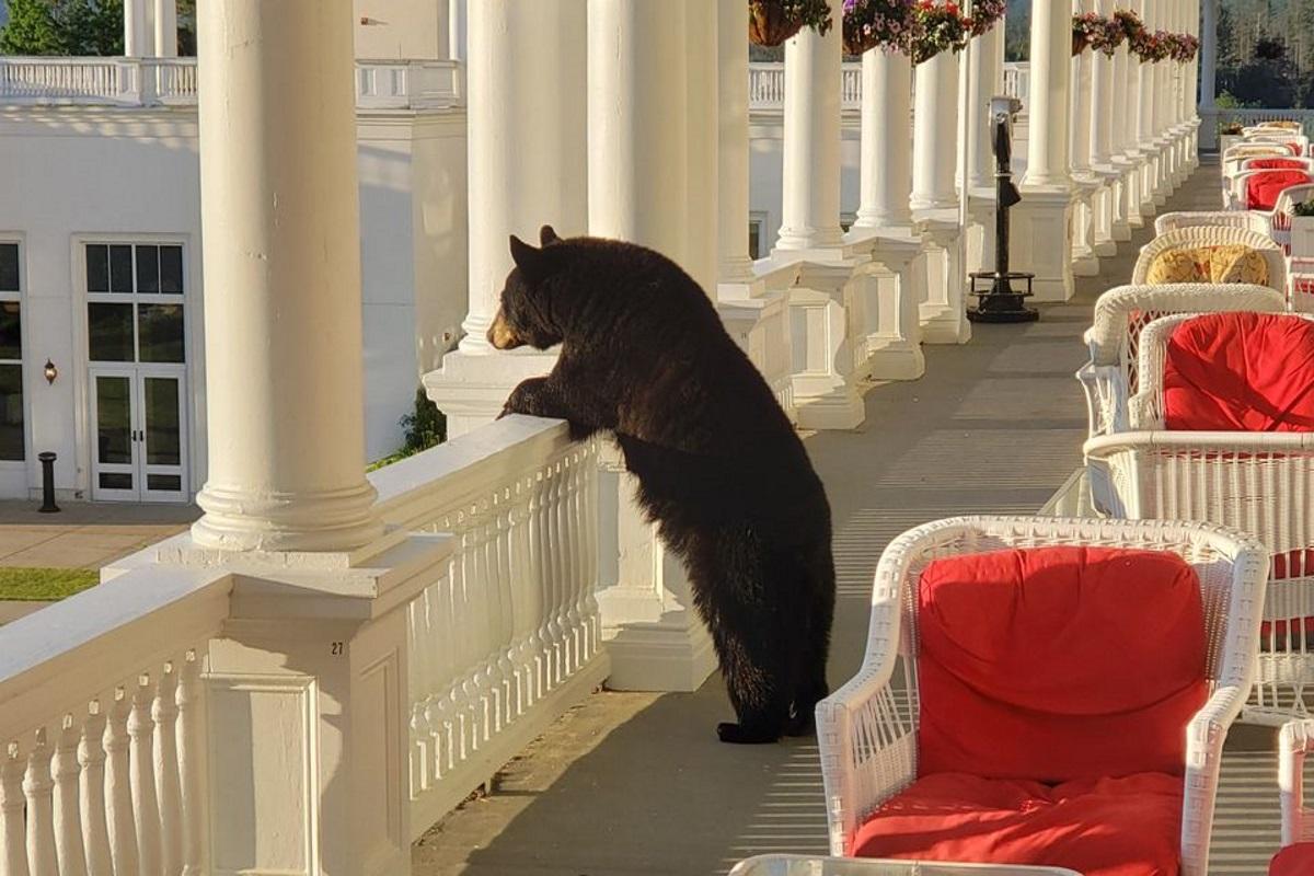 Orso guarda l'alba