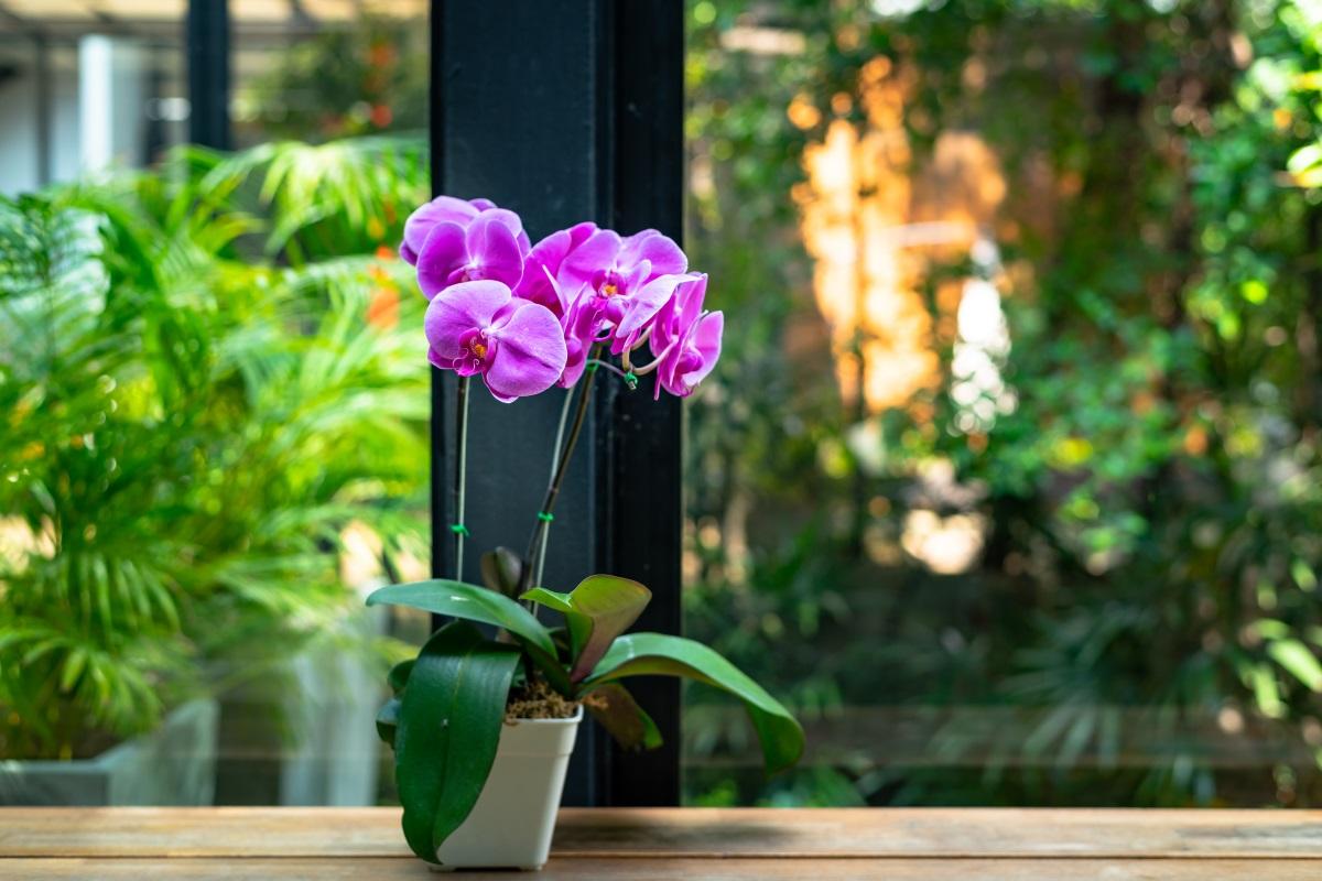 Orchidee in appartamento