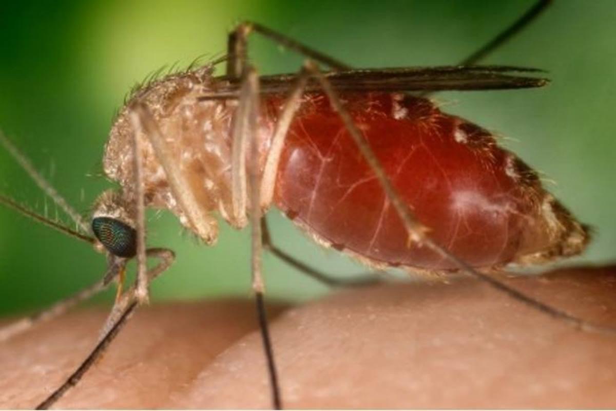 zanzare west nile