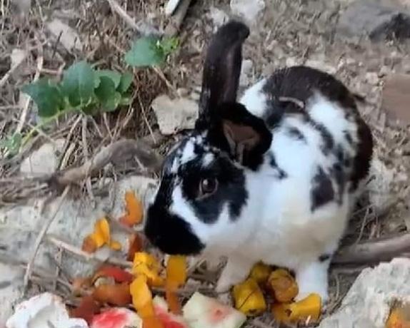 Coniglio Roger