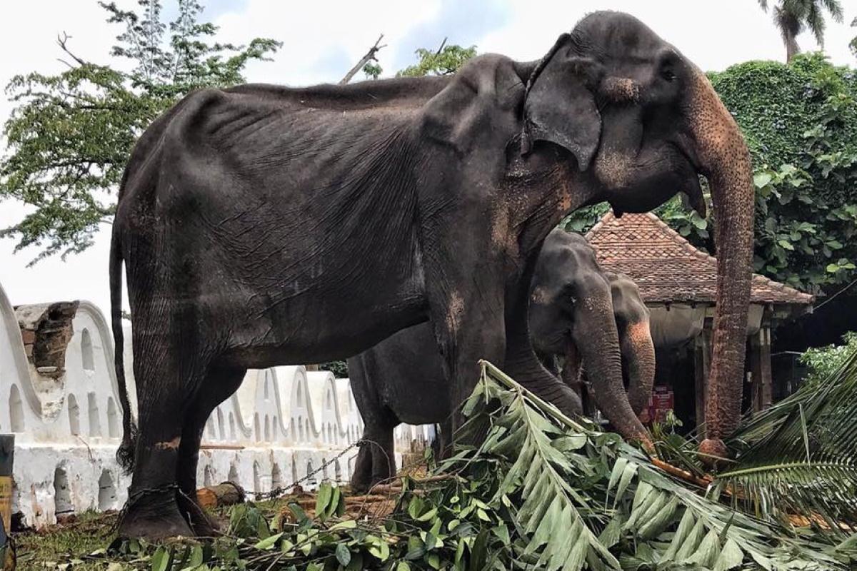 Elefantessa malnutrita