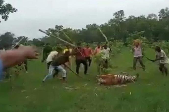Tigre uccisa a bastonate in India