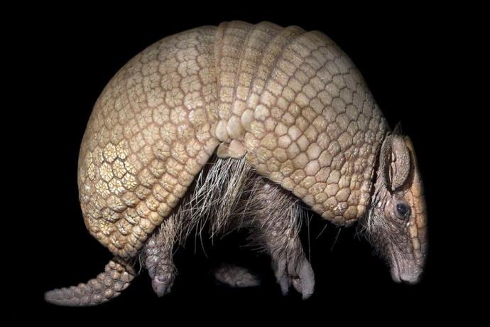 Armadillo centro recupero fauna Bolivia