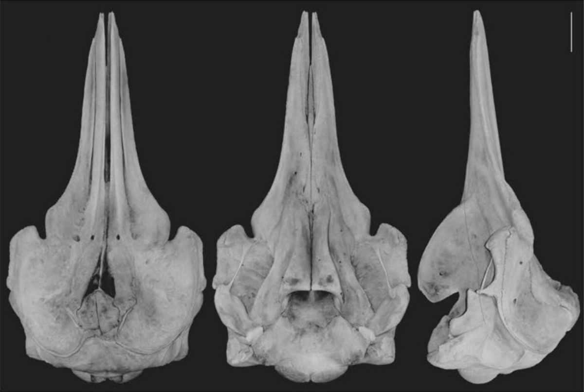 balena Berardius minumus