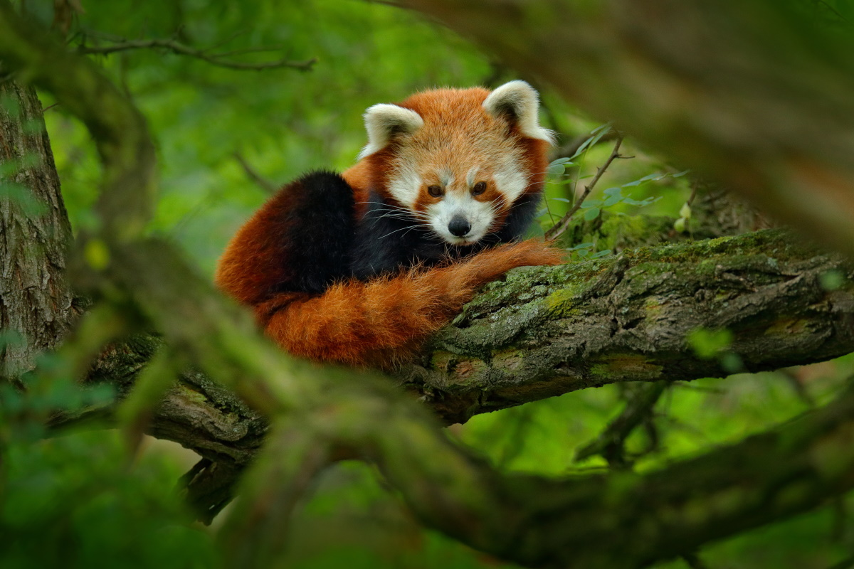 Panda rosso estinzione