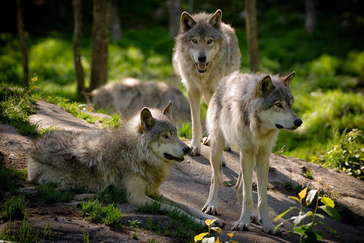 rifugio-lupi