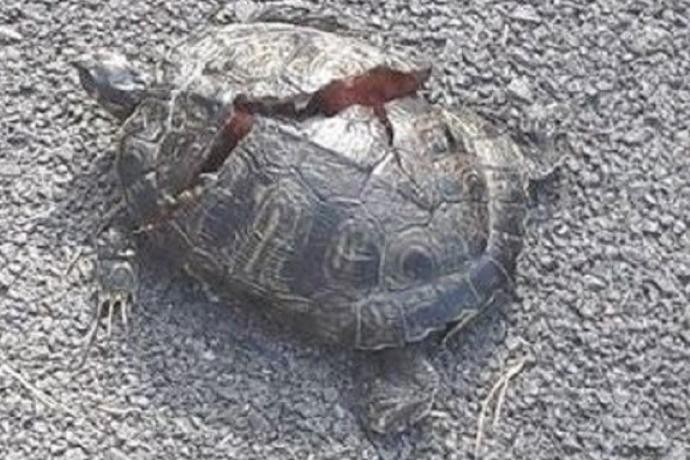 Tartaruga squartata Termoli