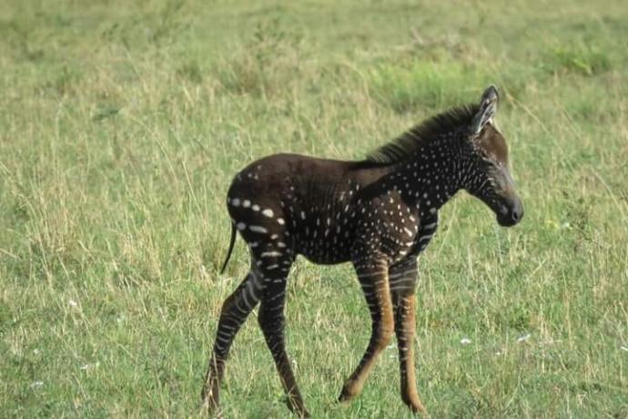 Zebra a pois Kenya