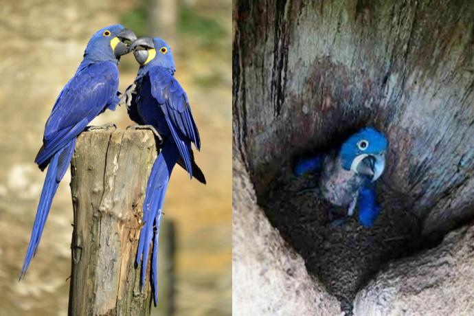 Ara blu Bolivia