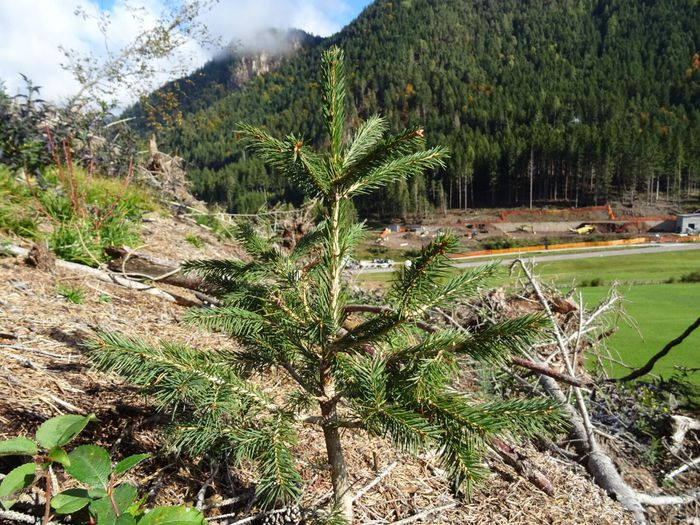 alberi foreste alpine
