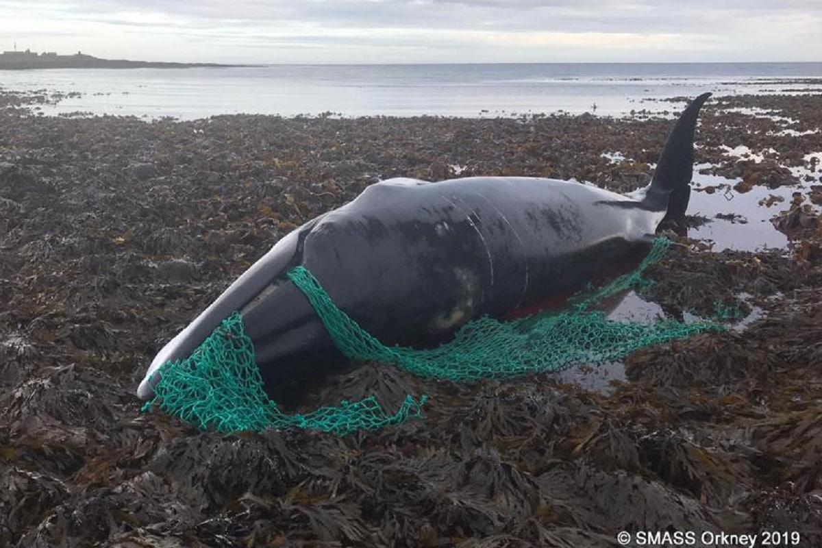 Balena uccisa da rete fantasma