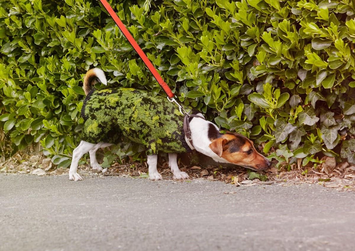 Cane cespuglio