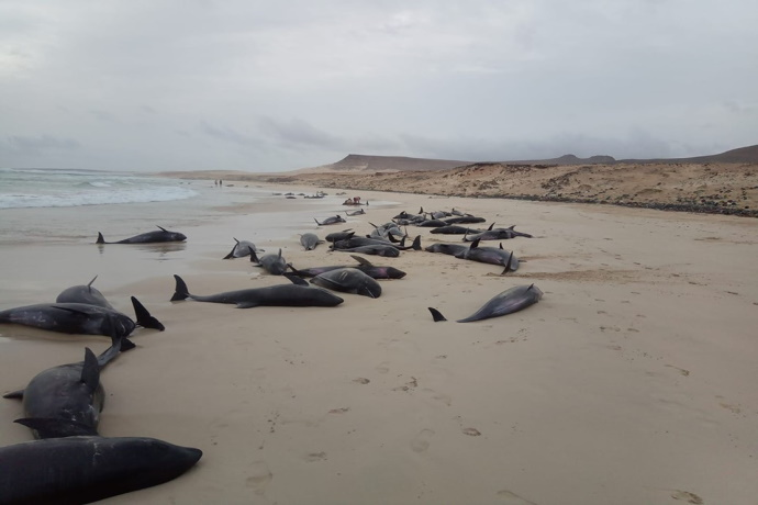 Delfini spiaggiati a Capo Verde