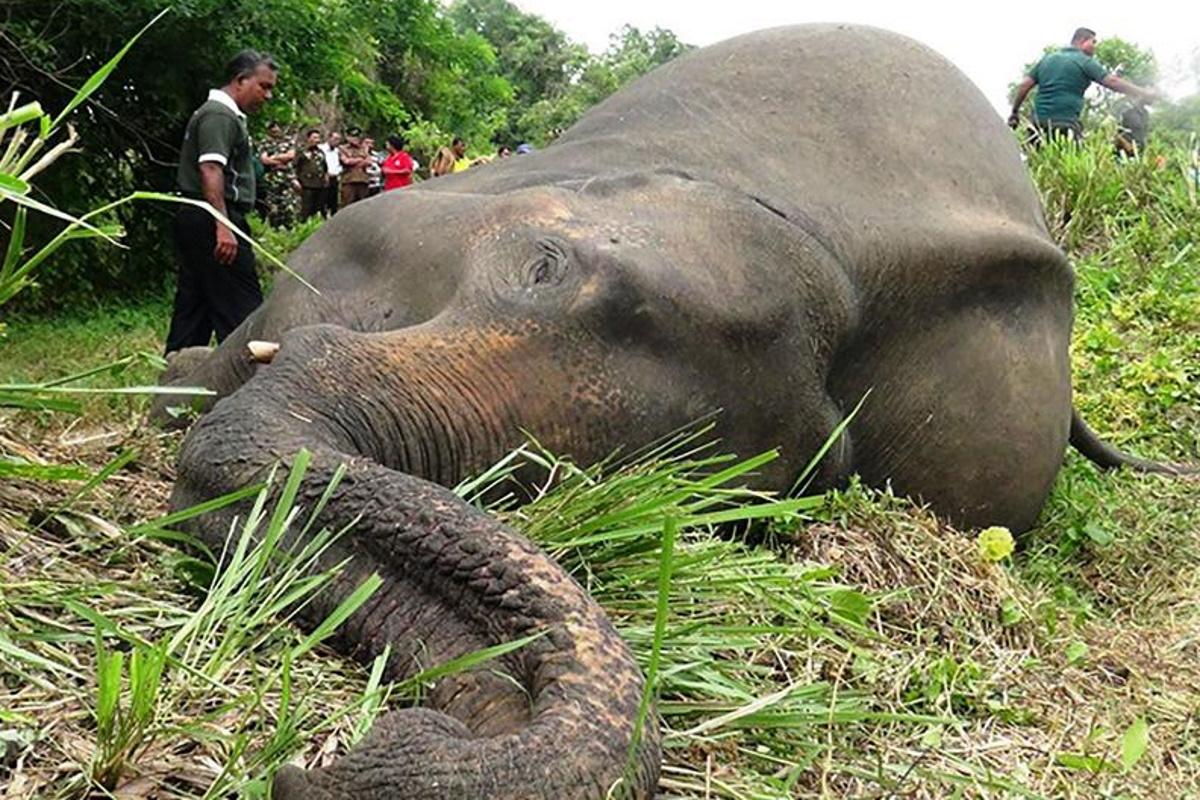 Elefanti avvelenati nello Sri Lanka