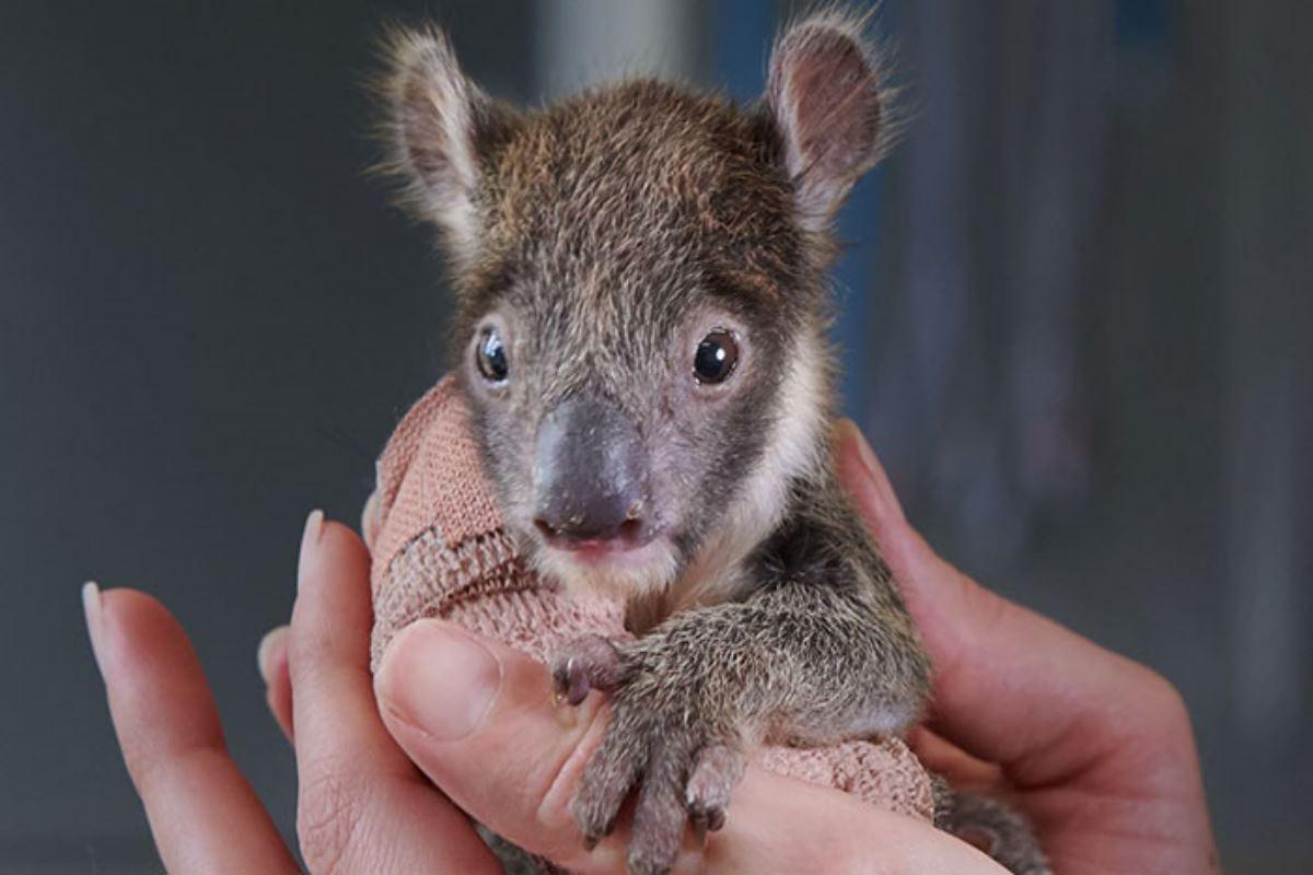 koala ingessato