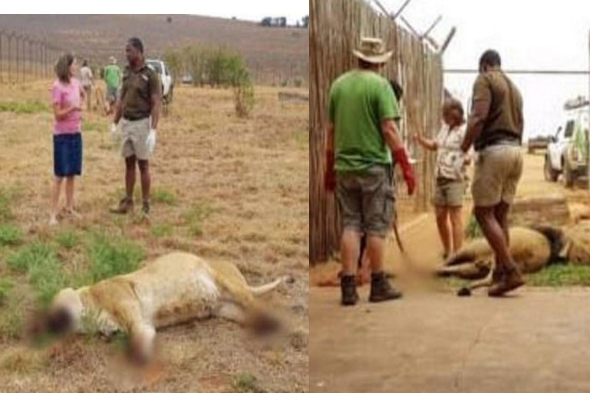 Leoni uccisi in Sud Africa