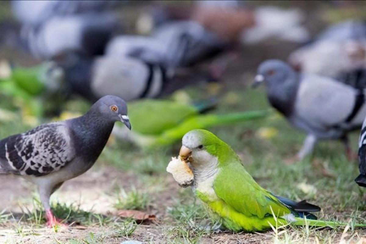 pappagalli-verdi