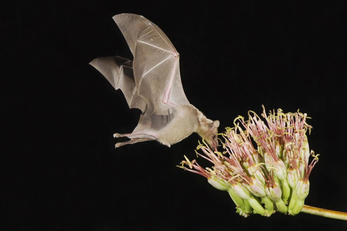 Pipistrello agave