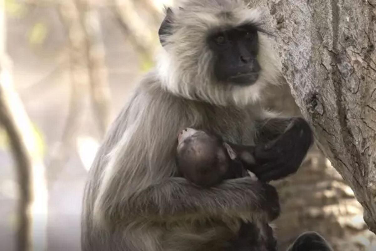 scimmia mamma