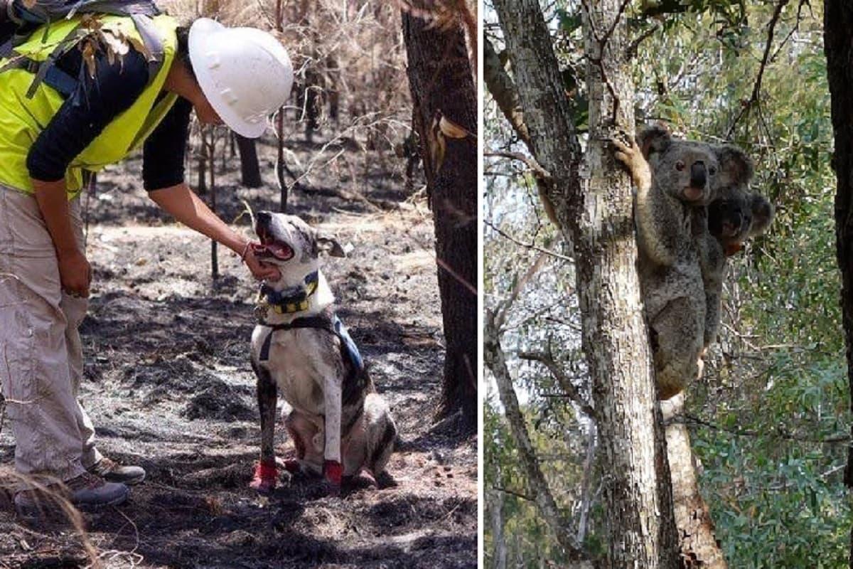 cane salva koala