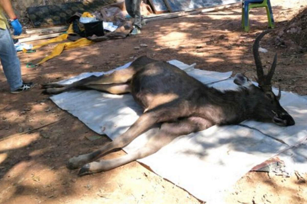 cervo plastica thailandia