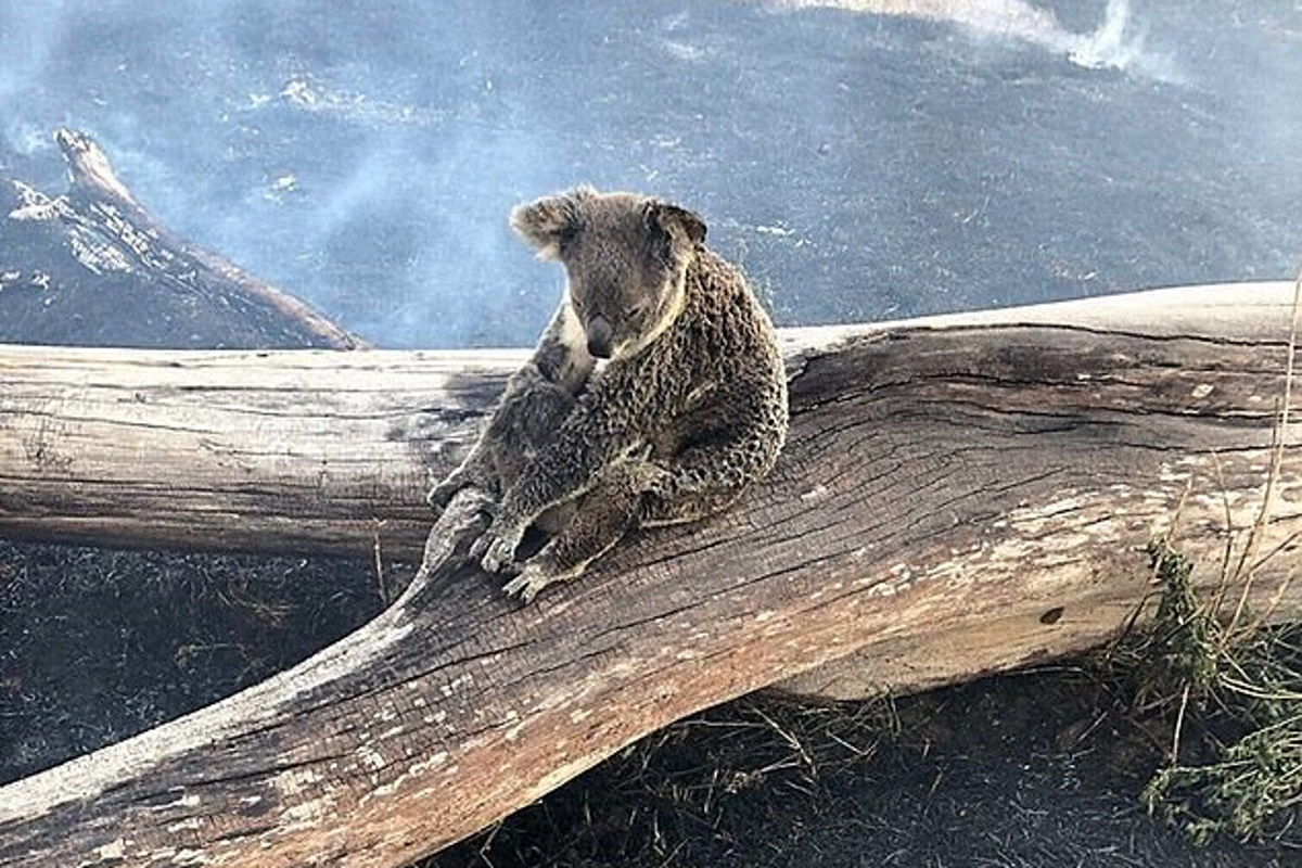 Koala uccisi dagli incendi in Australia