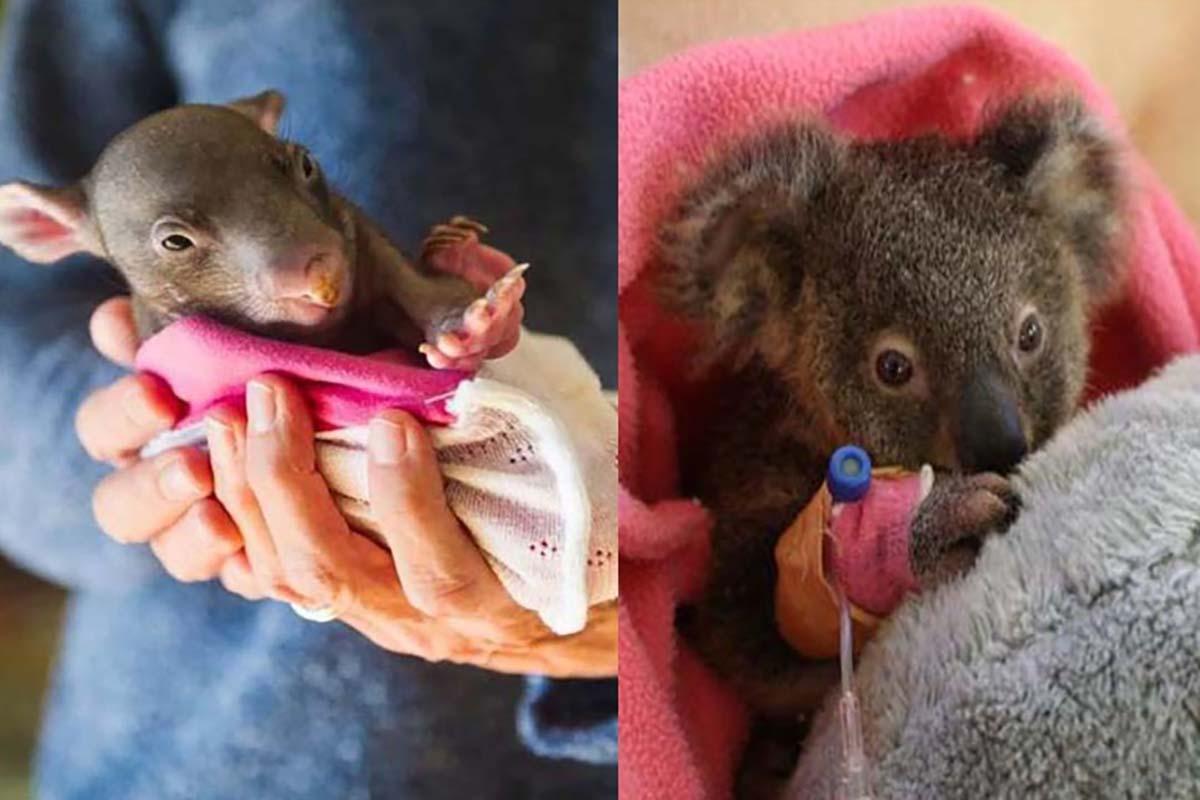 incendi-australia-animali-feriti