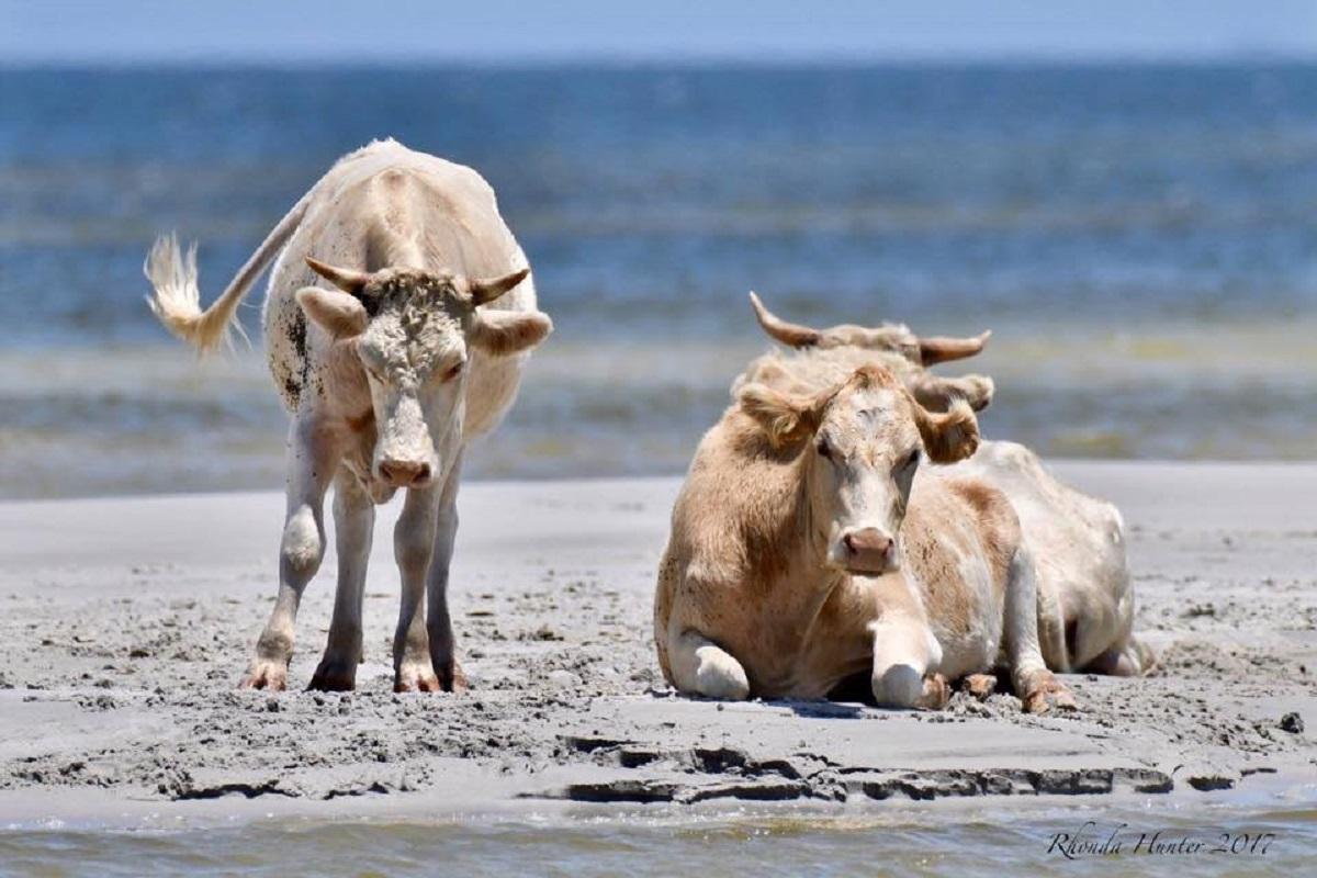 Mucche scomparse per uragano dorian