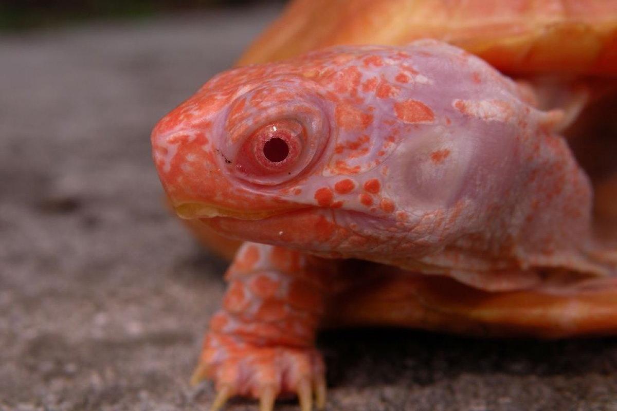 tartarughe albine