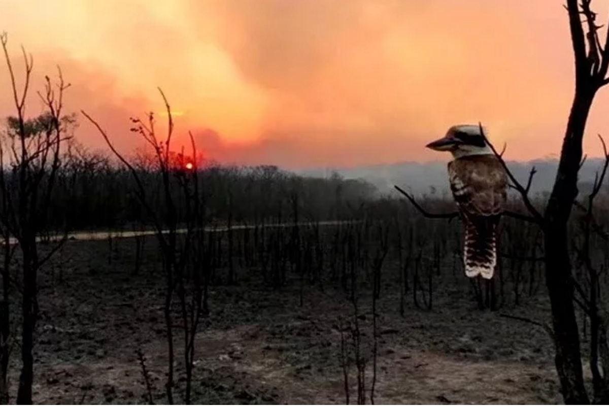 kookaburra fissa fiamme