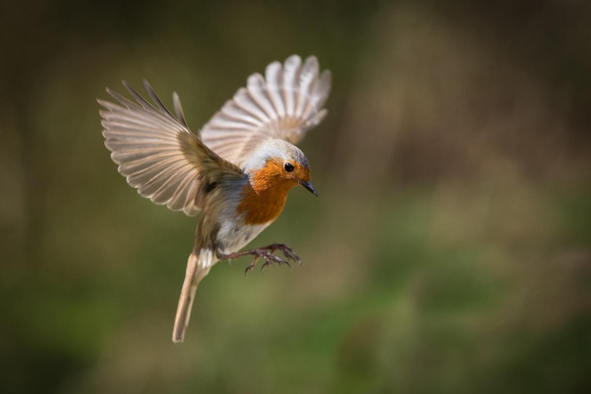 Pettirosso in volo
