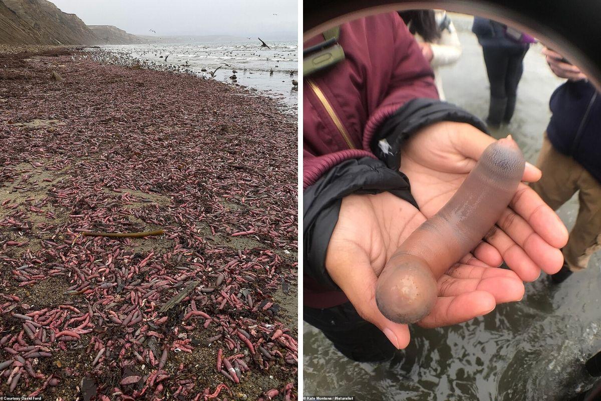 """Migliaia di """"pesce-pene"""" trovati arenati in una spiaggia della ..."""