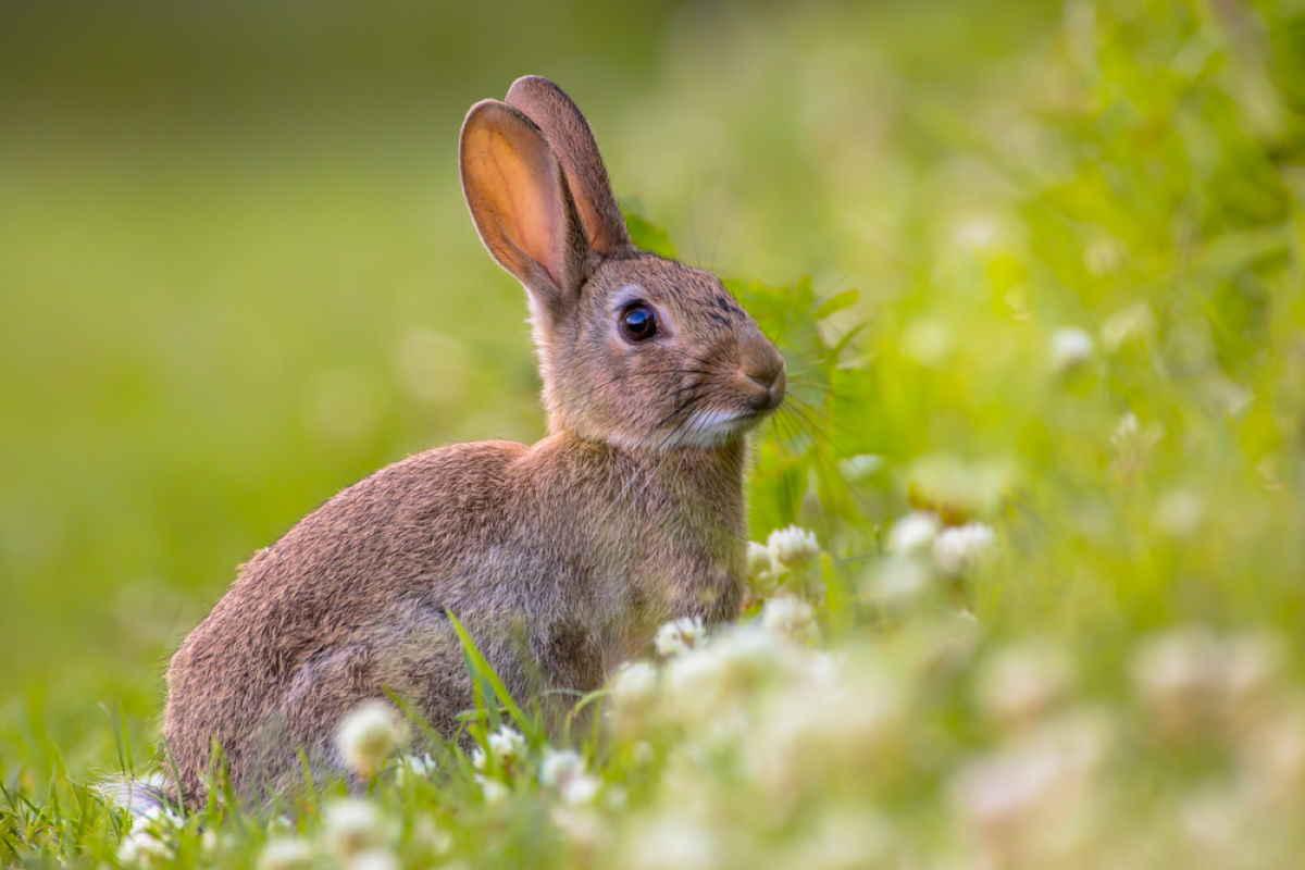 coniglio europeo