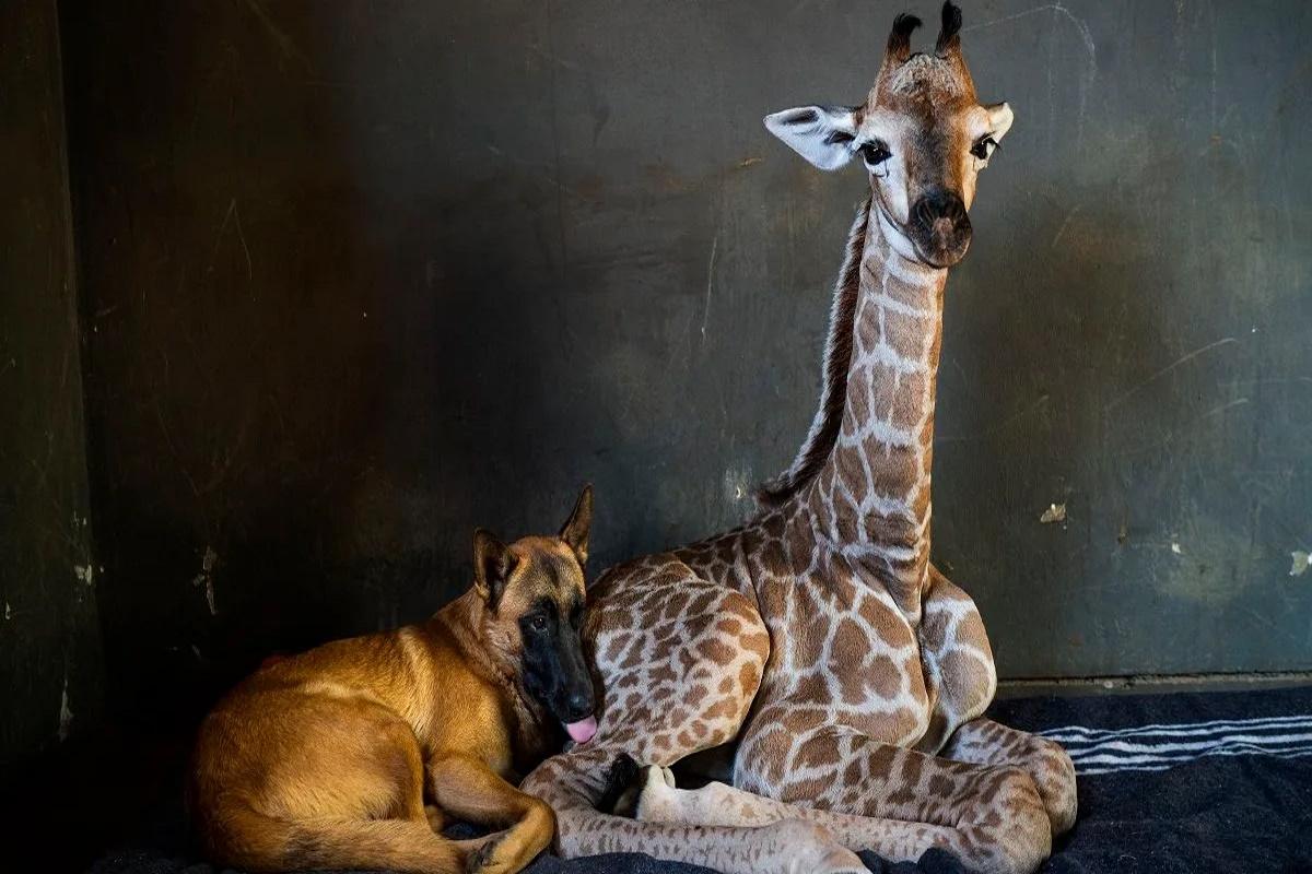 jazz giraffa hunter
